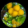 cerchio-limoni